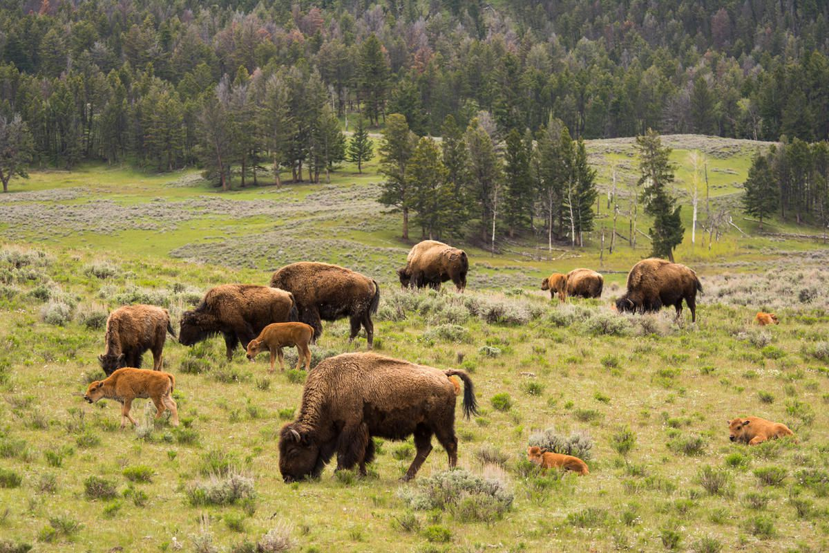 """FILE """""""" A bison rammed and injured a Heber City couple as they were taking photographs in Yellowstone National Park."""