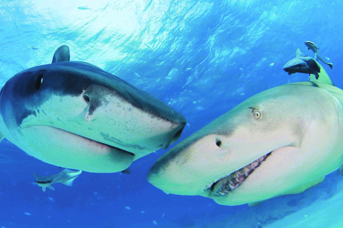 A tiger shark and a lemon shark mingle in the waters of the Bahamas.