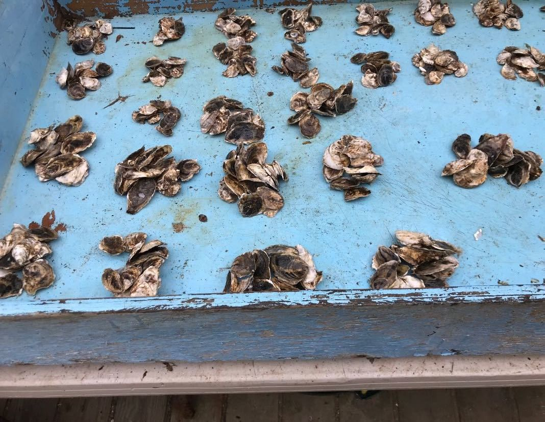 Oysters in a blue tray that Brittany grew, loved, and eventually ate.