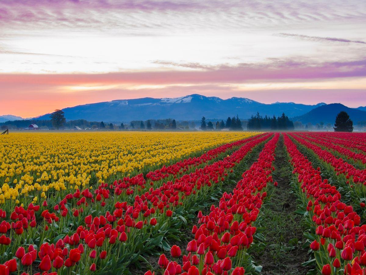 Image result for skagit tulip valley festival