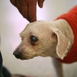 Roland, a blind senior dog, gets adopted at the West Valley City Animal Shelter in West Valley City on Saturday, Sept. 1, 2012.