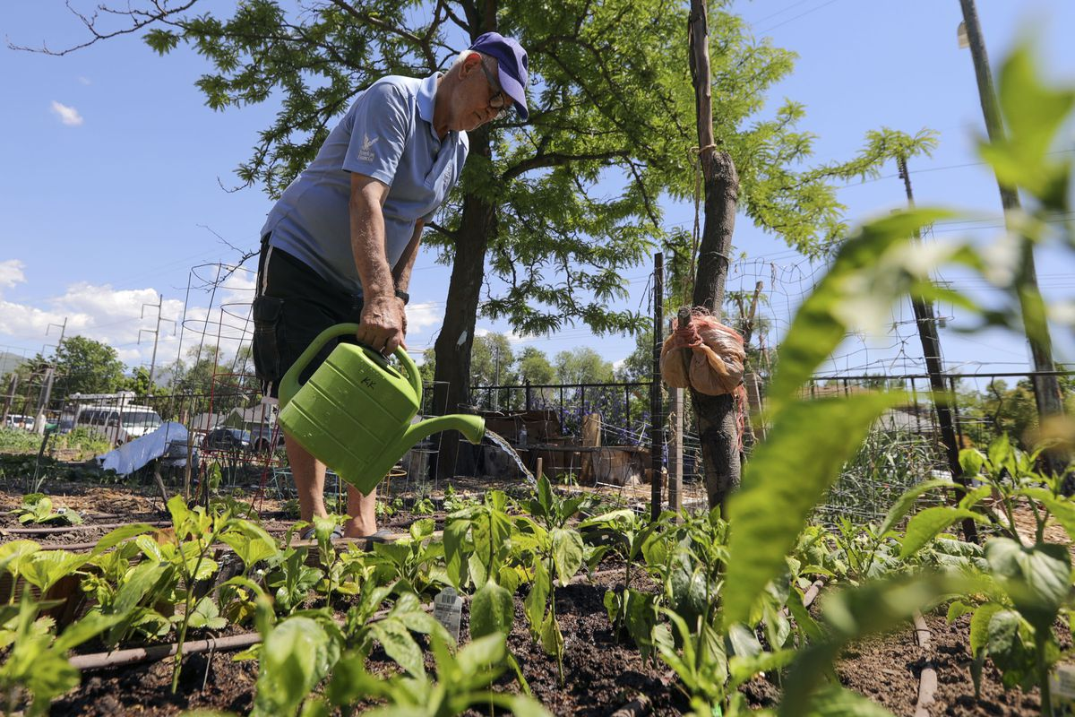 Dusan Marginos waters his plot at Wasatch Community Gardens' Grateful Tomato Garden in Salt Lake City on Thursday, June 3, 2021.