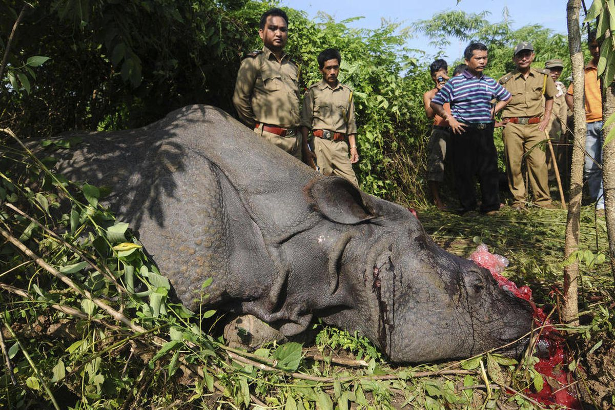 Forest officials stand near a rare one-horn rhinoceros which was killed and dehorned by poachers at Karbi hills, near Kaziranga National Park, in the northeastern Indian state of Assam, Thursday, Sept. 27, 2012. Poachers shot two rhinoceroses each on Wedn
