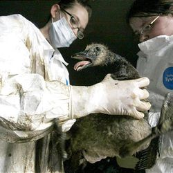 Shannon Petersen, left, and Sierra Stout of Wasatch Exotic Pet Care apply vegetable oil to clean an oil-soaked goose at Hogle Zoo on Saturday.