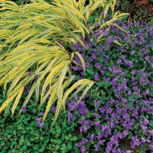 <p>Low-growing golden-variegated hakone grass shares space with purple-flowering campanula in this shaded garden.</p>