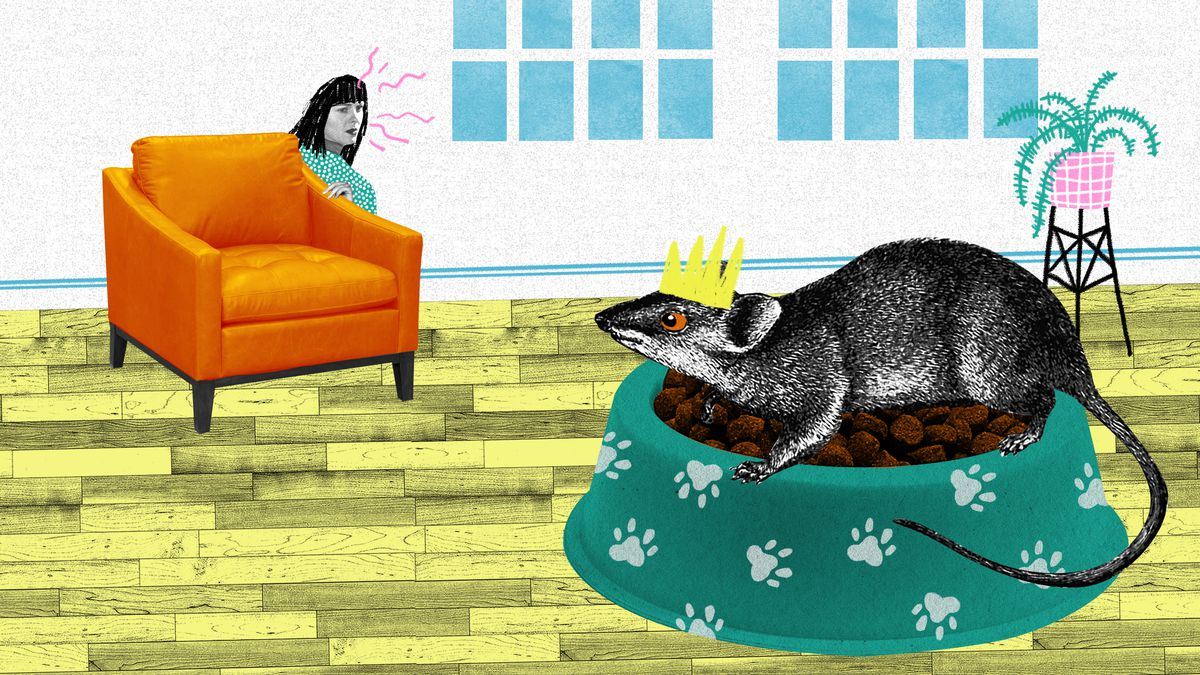 An alarmed woman cowers behind an armchair in her living room. The focal point of the image is a large rat standing on a full bowl of kibble in a dog dish. Illustration.