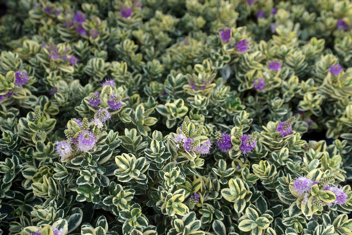 Hebe Variegata shrub blooms with purple flowers and variegated green leaves.
