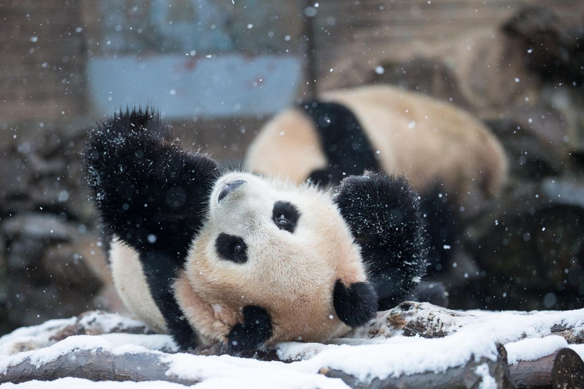 Giant Pandas Play After Snow In Hangzhou