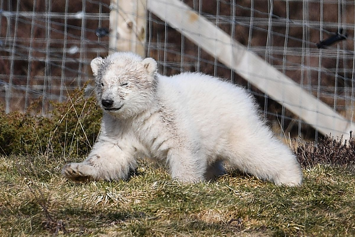 First Polar Bear Born In The UK For 25 Years