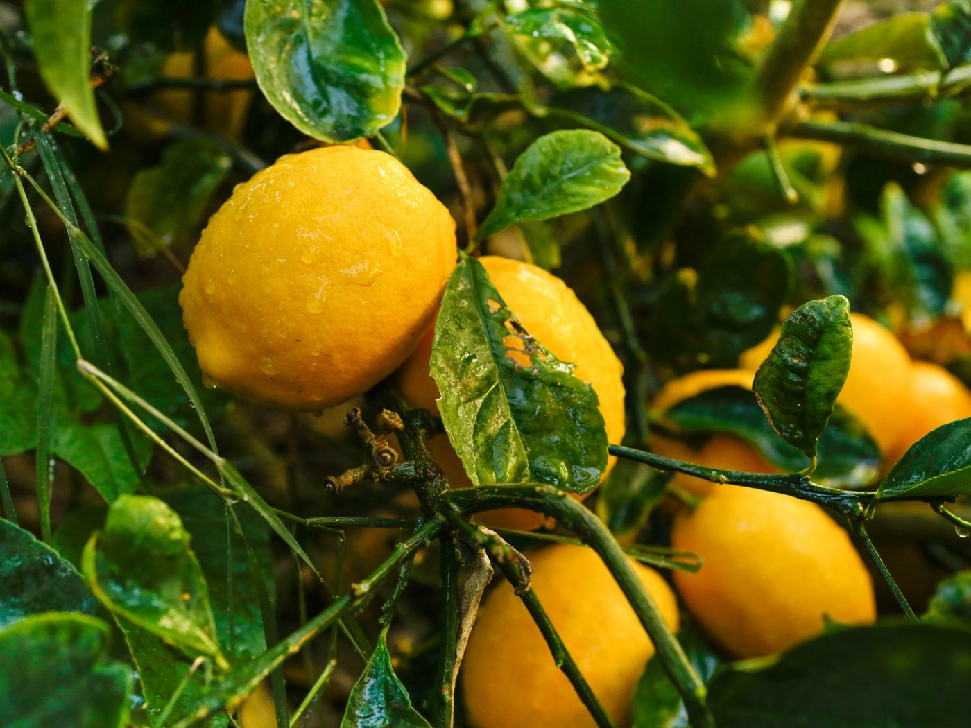 Everything You Need To Know About Meyer Lemon Trees This Old House