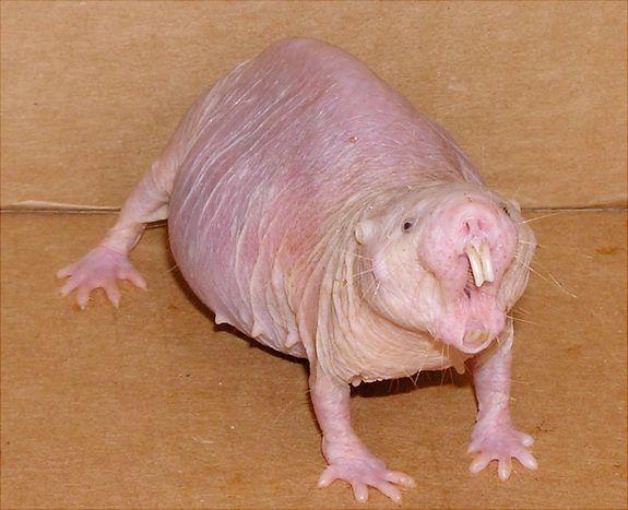 fat naked mole rat