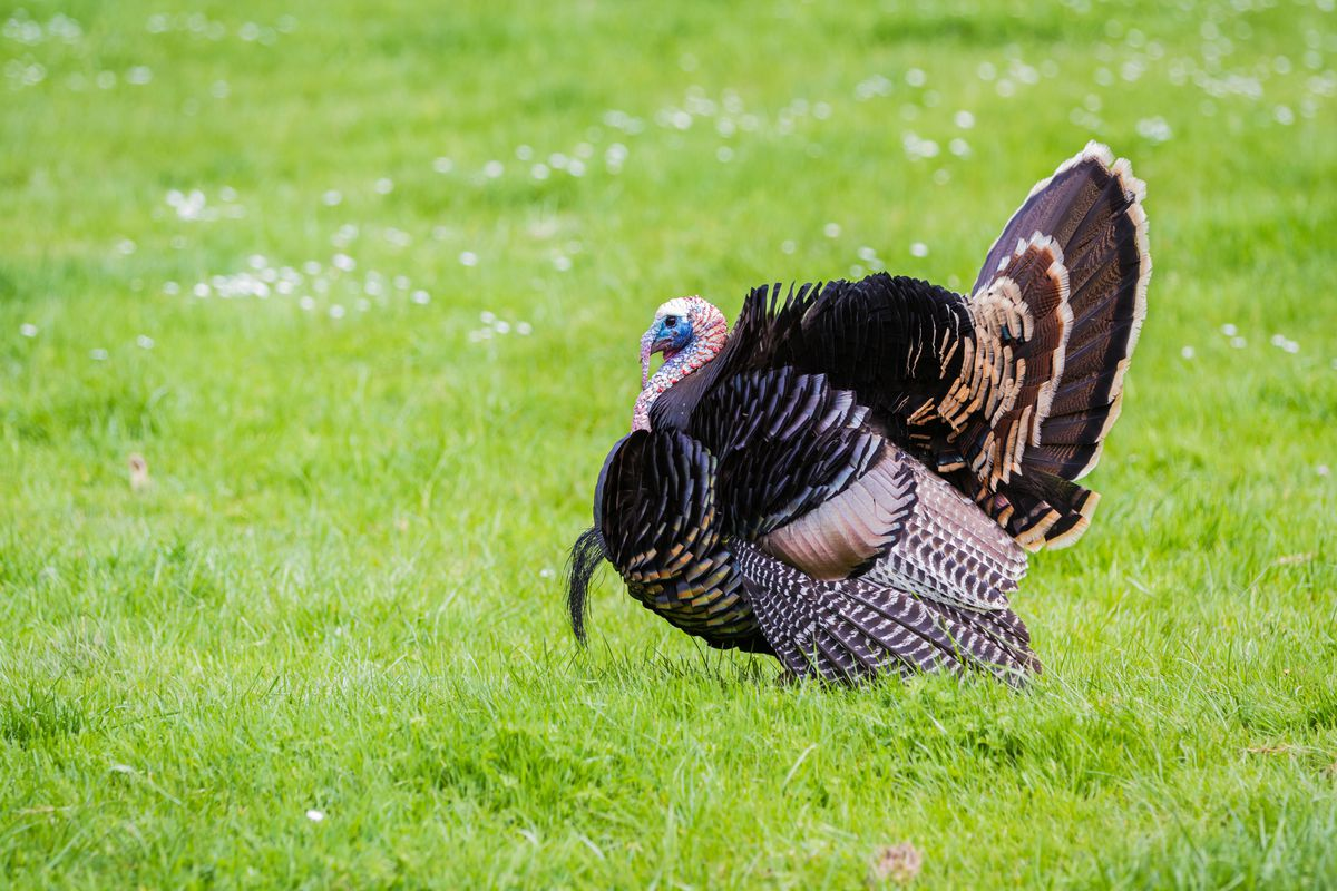 3 unexpected facts about turkeys - Vox