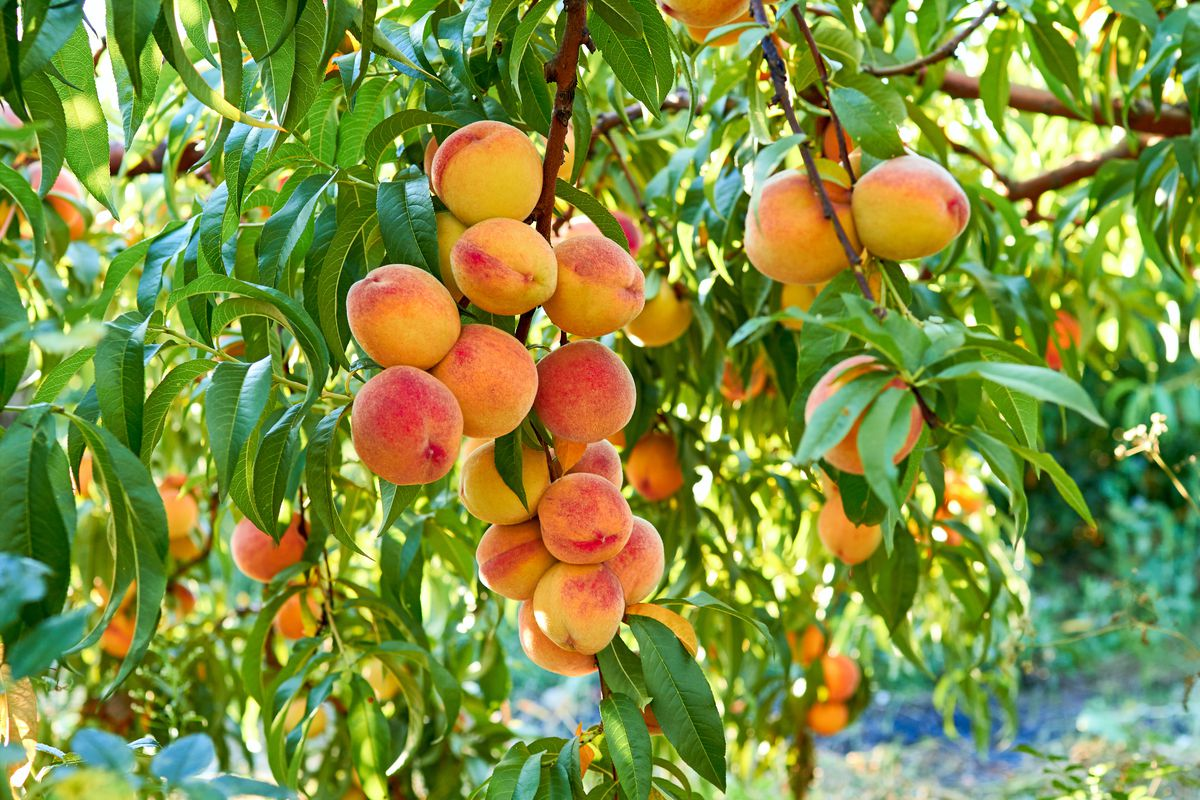 Peach tree planting ceremony Friday morning in Aurora