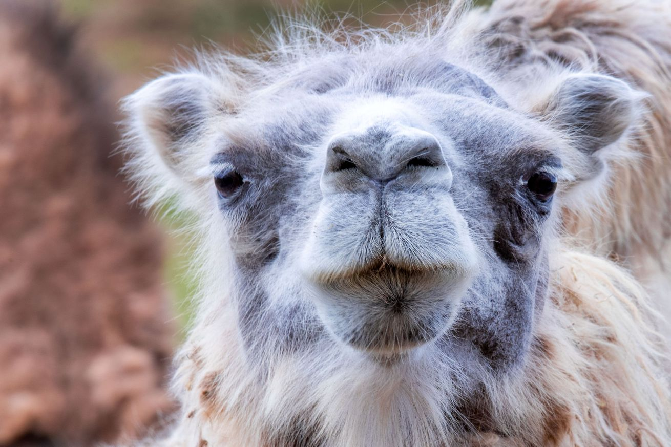 Camel yard in distress because of Corona measures