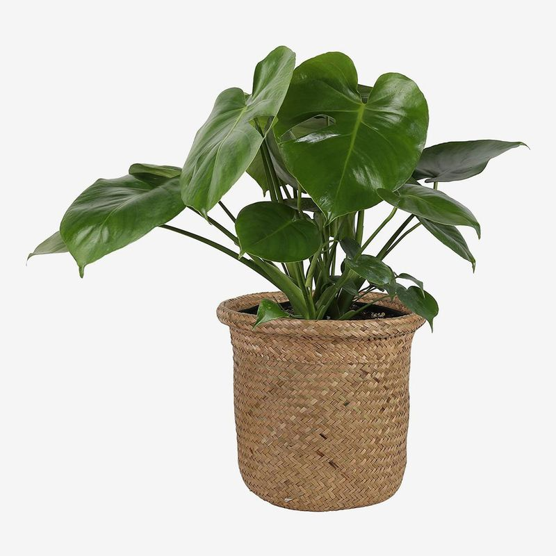 Woven planter holds short plant with heart-shaped leaves.