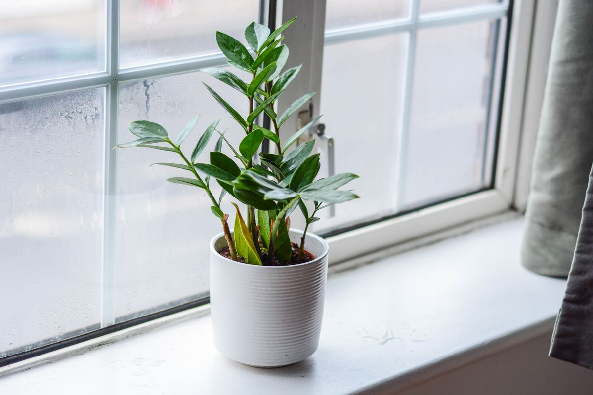 A small zz plant sits on a window sill in a white pot.