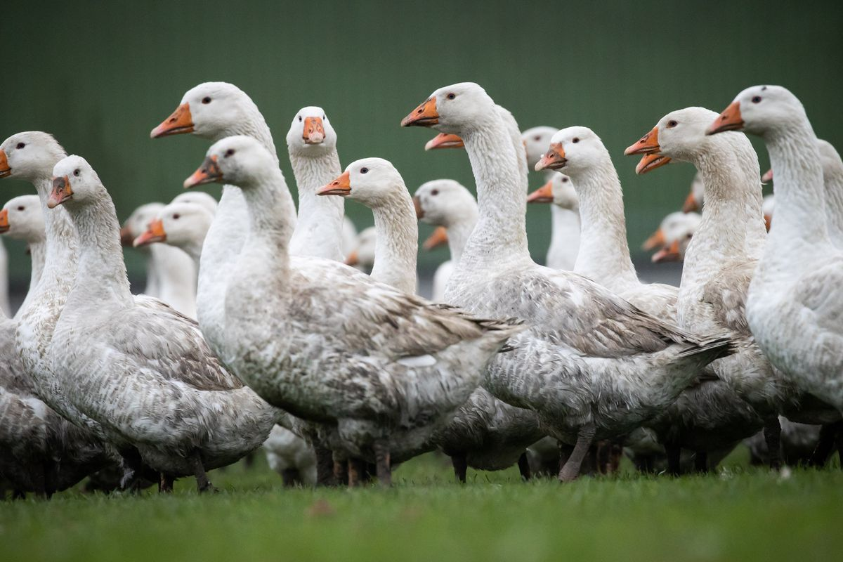 Free range geese — The source of goose-eggs