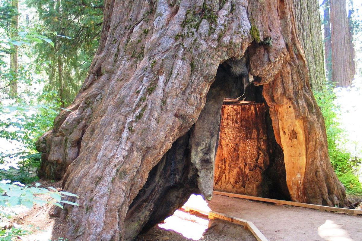 A photo of the sequoia with a tunnel for cars carved through it in Calaveras County, before it was toppled.
