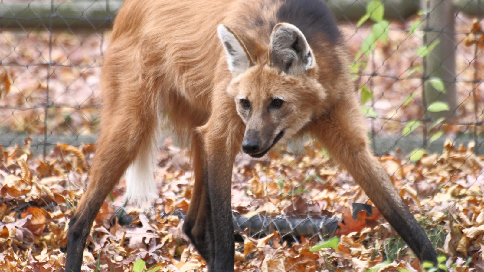 The Verge Review Of Animals Maned Wolf