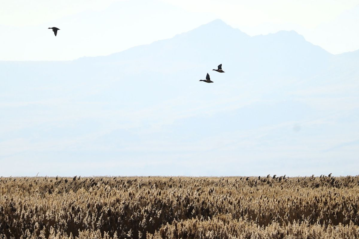 Geese fly near the Great Salt Lake in Layton on Wednesday, Nov. 25, 2020.