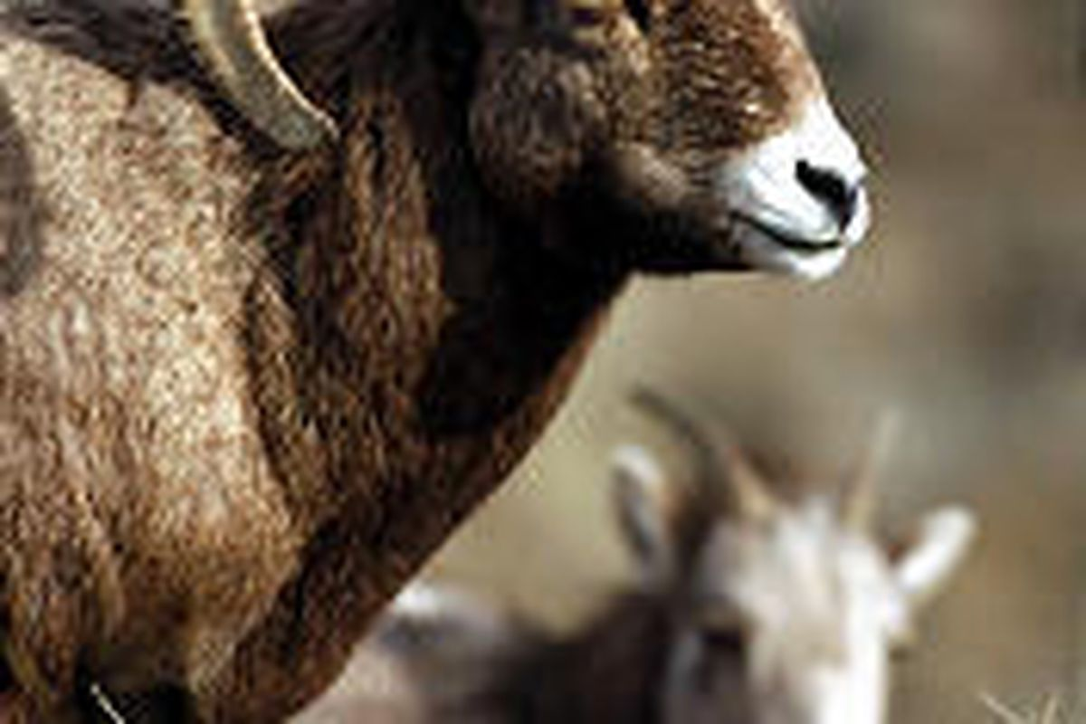 Environmentalists and ranchers are at odds over a herd of Sierra bighorn sheep near Yellowstone.