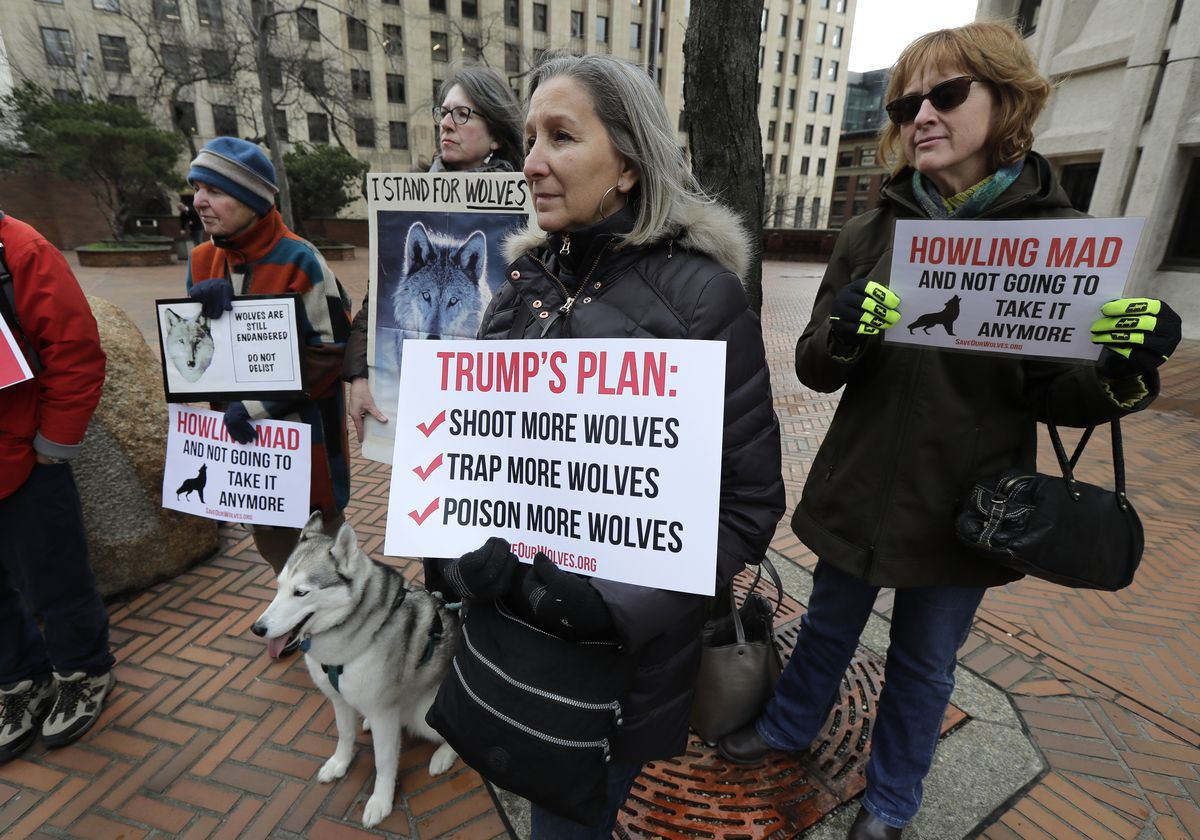 Protesters gather to oppose gray wolf radiation