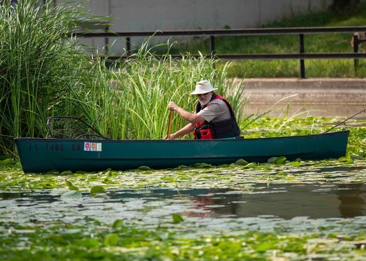 An animal expert with the Chicago Herpetological Society tries to draw out an alligator in the Humboldt Park Lagoon on Tuesday.