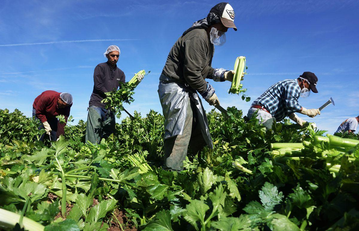 Four men harvest celery in a field.