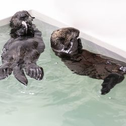 Two orphaned sea otter pups, temporarily named Pups 870 and 872, are now residing at the Shedd Aquarium after being rescued by the Monterey Bay Aquarium in California.