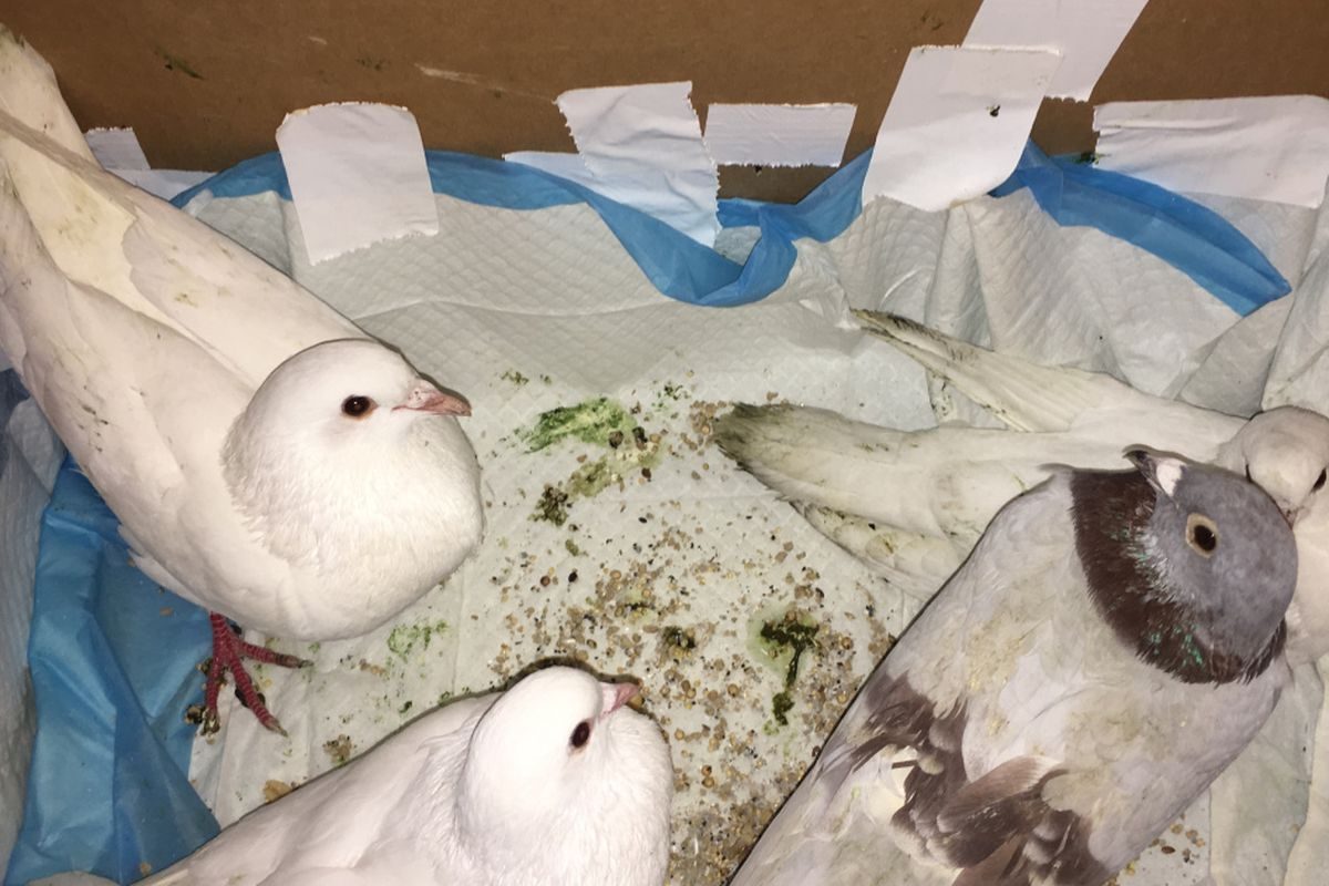 Pigeon racing has a cruel, ugly side  Don't allow it in