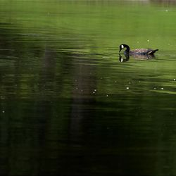 A mallard duck swims in the oil-filled pond at Liberty Park Saturday in Salt Lake City. Oil-soaked ducks and geese from around the water source were gathered by zoo officials to be cleaned and treated.