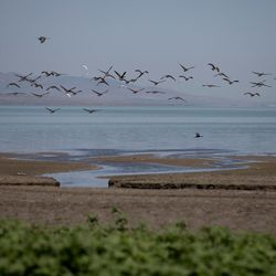 Birds fly along the shore of Utah Lake at Lincoln Beach, west of Spanish Fork, on Wednesday, July 27, 2016. Public health officials are monitoring the state of an algal bloom that has forced the closure of Utah Lake.