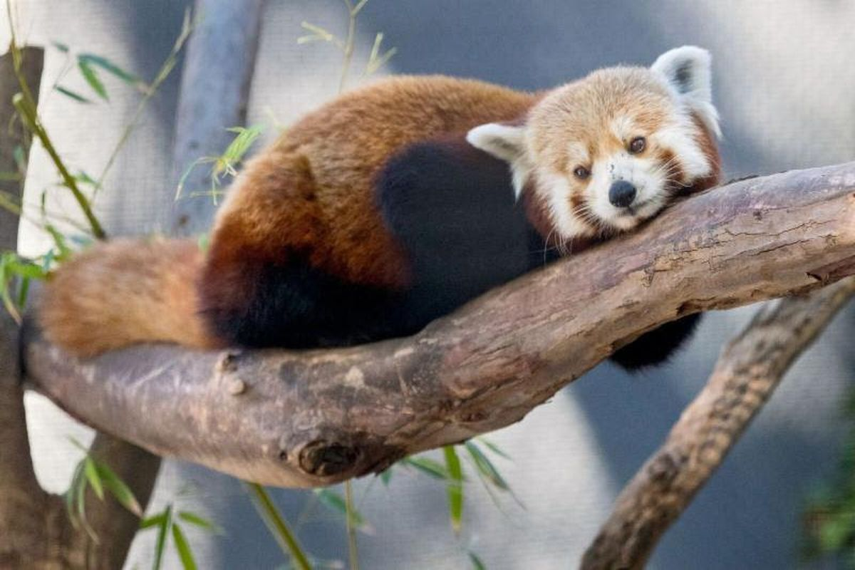Utah's Hogle Zoo announced Wednesday, Feb. 7, 2017, that two red pandas will move to the zoo this spring.