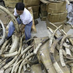 A staffer of the Department of Environment and Natural Resources-Protected Areas and Wildlife Bureau (DENR-PAWB) sorts elephant tusks which were seized by Philippine customs authorities over a two-year period following failed smuggling attempts in the country, Wednesday Sept. 26, 2012, in Quezon city northeast of Manila. The tusks are to be shipped back to their port of origin, mostly from Tanzania, for destruction.