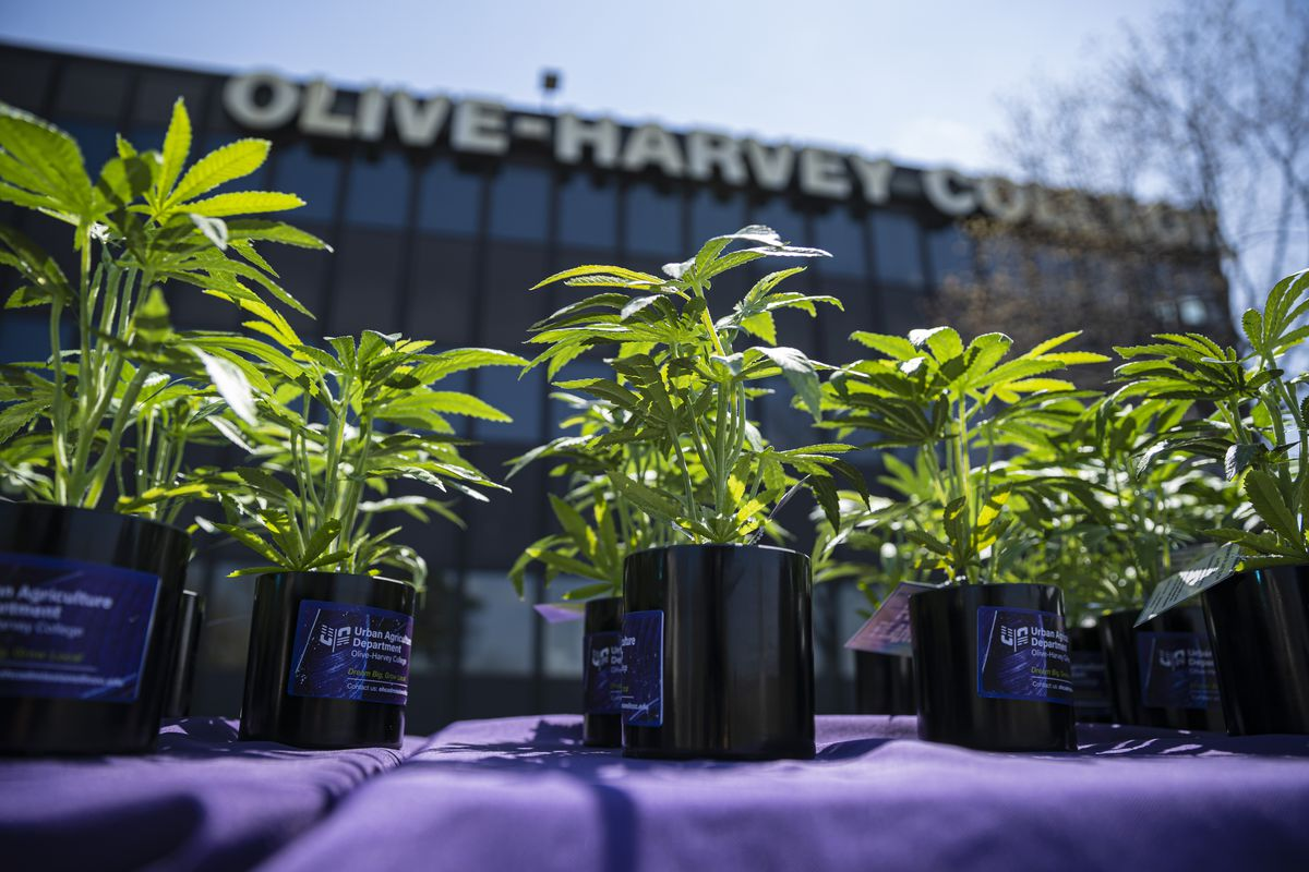 Fake hemp plants sit on a table outside Olive-Harvey College during the groundbreaking ceremony for the new hemp greenhouse.