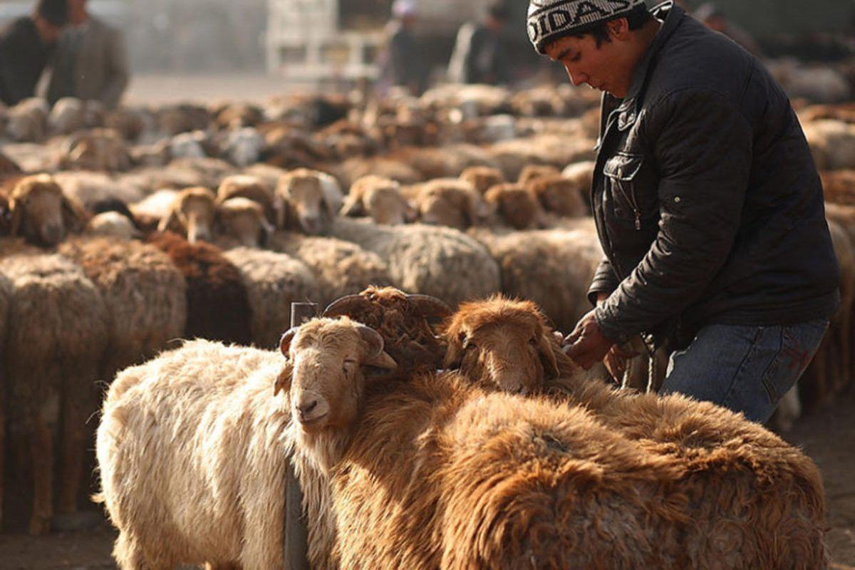 A man leads livestock at a bazaar in Central Asia's Kashgar region on Nov 7, 2010, 10 days before of Eid al-Adha.