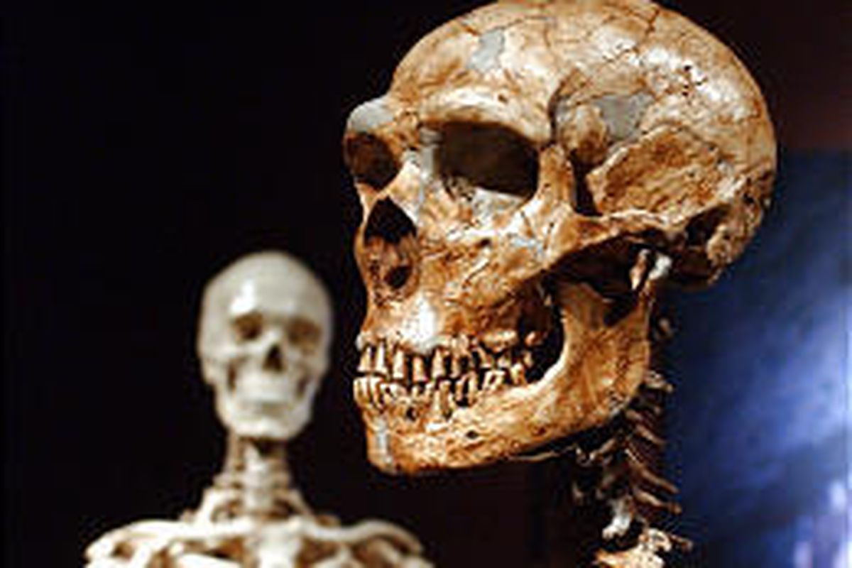 A reconstructed Neanderthal skeleton, right, and a modern human version of a skeleton at the Museum of Natural History in New York City.
