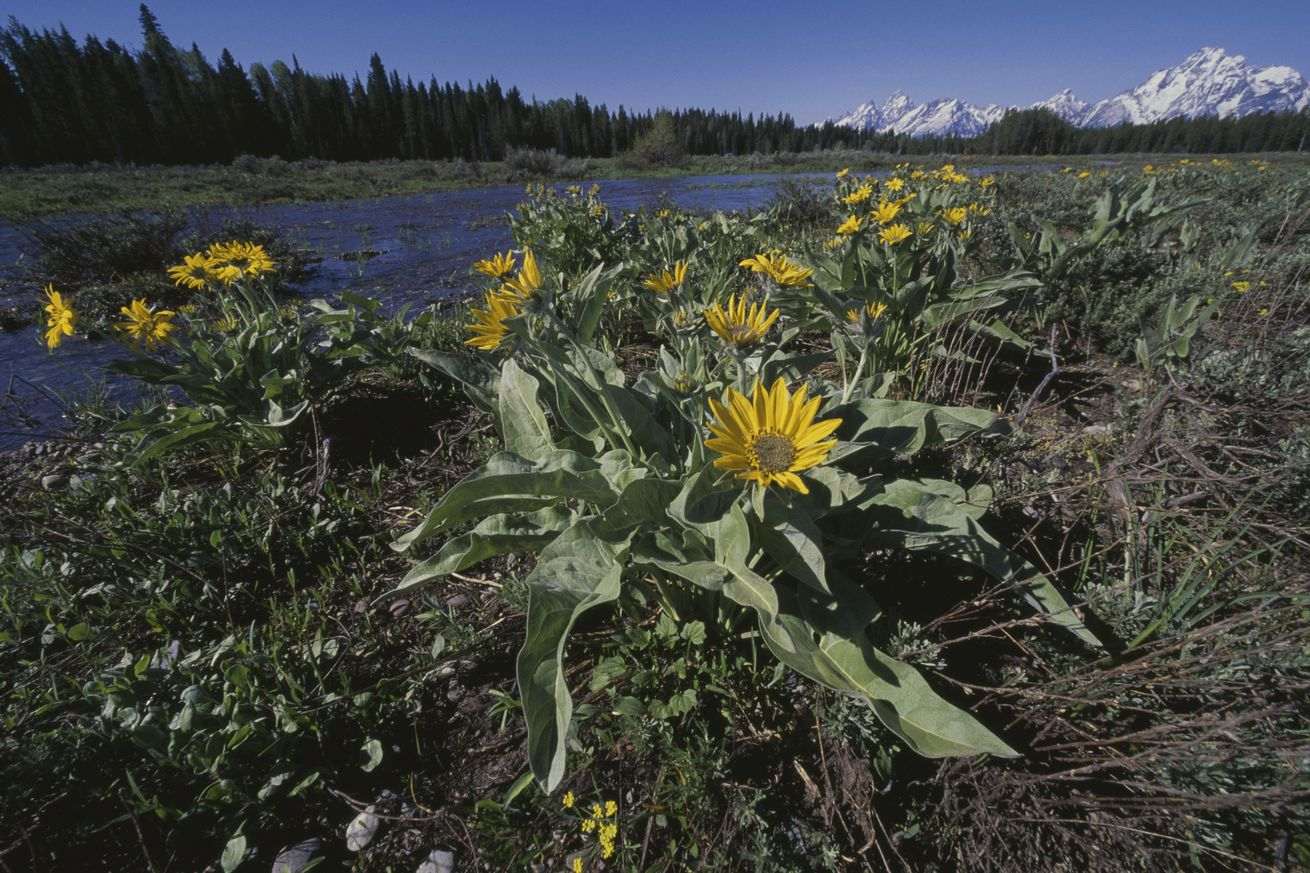 Flowers, bank of stream, Grand Teton National Park