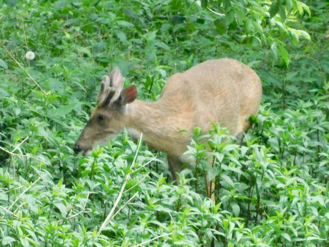 A buck in velvet in May near the Des Plaines Riverwalk. Credit: Alan Anderson
