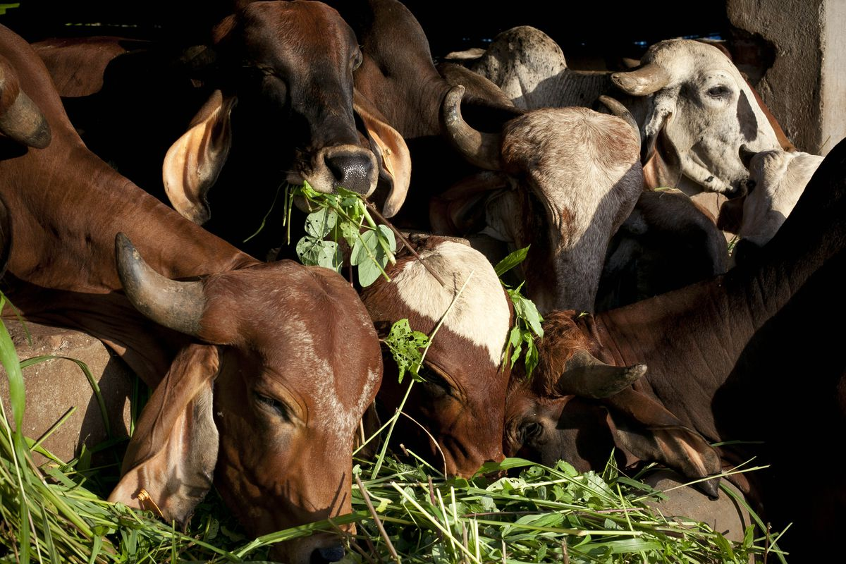 Cow Shelters Grow In Popularity As Beef Eating Is Made Illegal