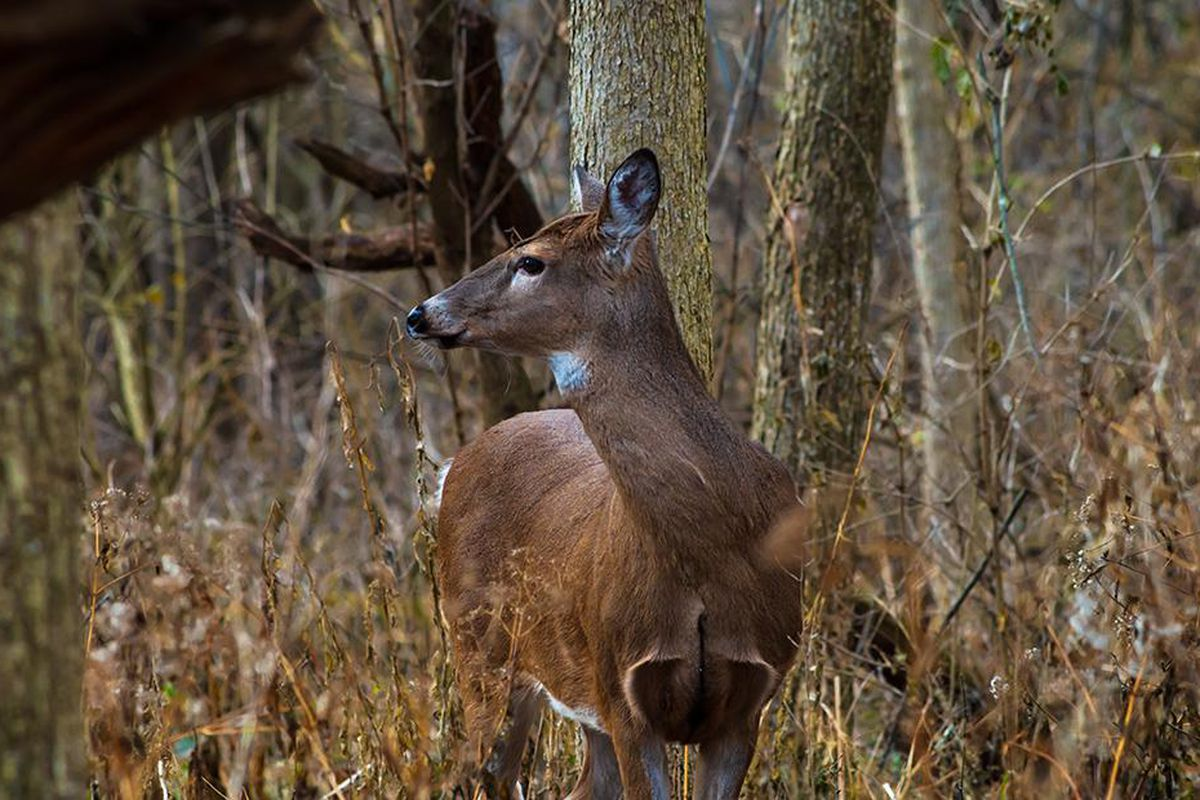 Perch record revisited, white-squirrel count, a bobcat tale and a doe come in notes on Chicago outdoors.