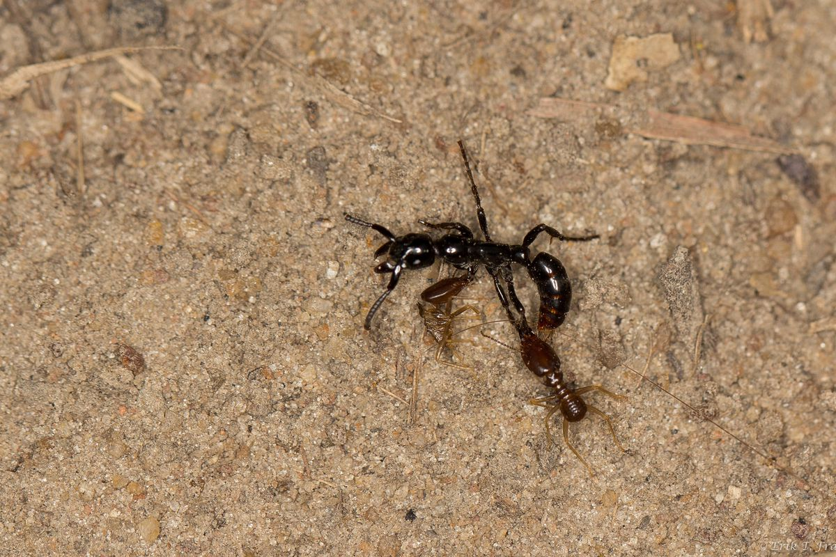 This Termite Hunting Ant Rescues Its Injured Friends To Benefit The Whole Colony The Verge