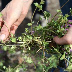 Christina Stanley, collective plots coordinator for Rose Park Community Garden, picks henbit at the Rose Park Community Garden in Salt Lake City on Monday, April 17, 2017.