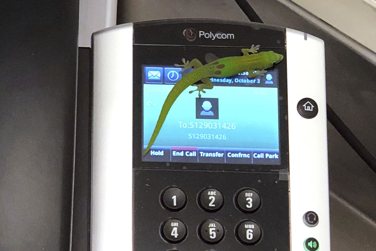This Oct. 3, 2018, photo provided by The Marine Mammal Center hospital director Claire Simeone shows a gecko on a phone at the center in Kailua Kona, Hawaii. The gecko is the culprit in making numerous calls in the phones' recent call history with his tin