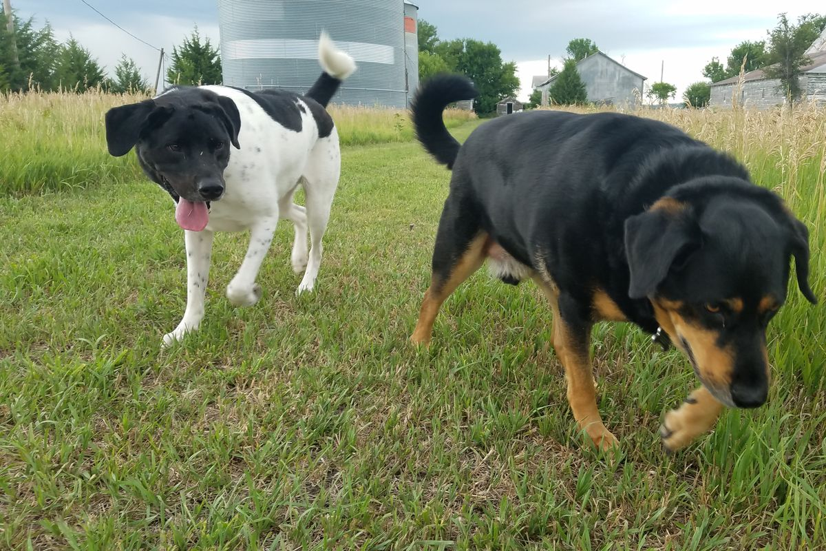 Against a backdrop of some grain silos and other farm buildings, a white dog with a black head and his tongue sticking out walks alongside a black dog with tan legs. They are not on leashes.