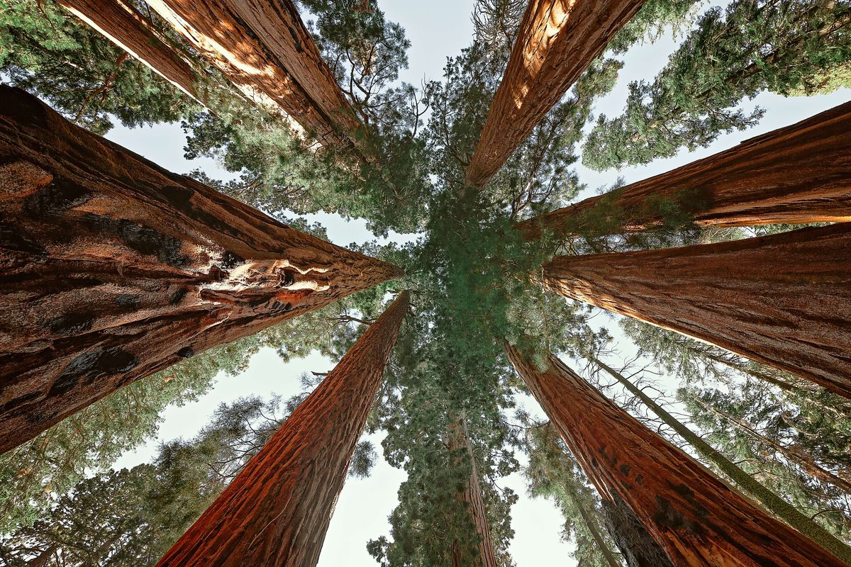 Upward view of giant sequoias in Sequoia National Park,...