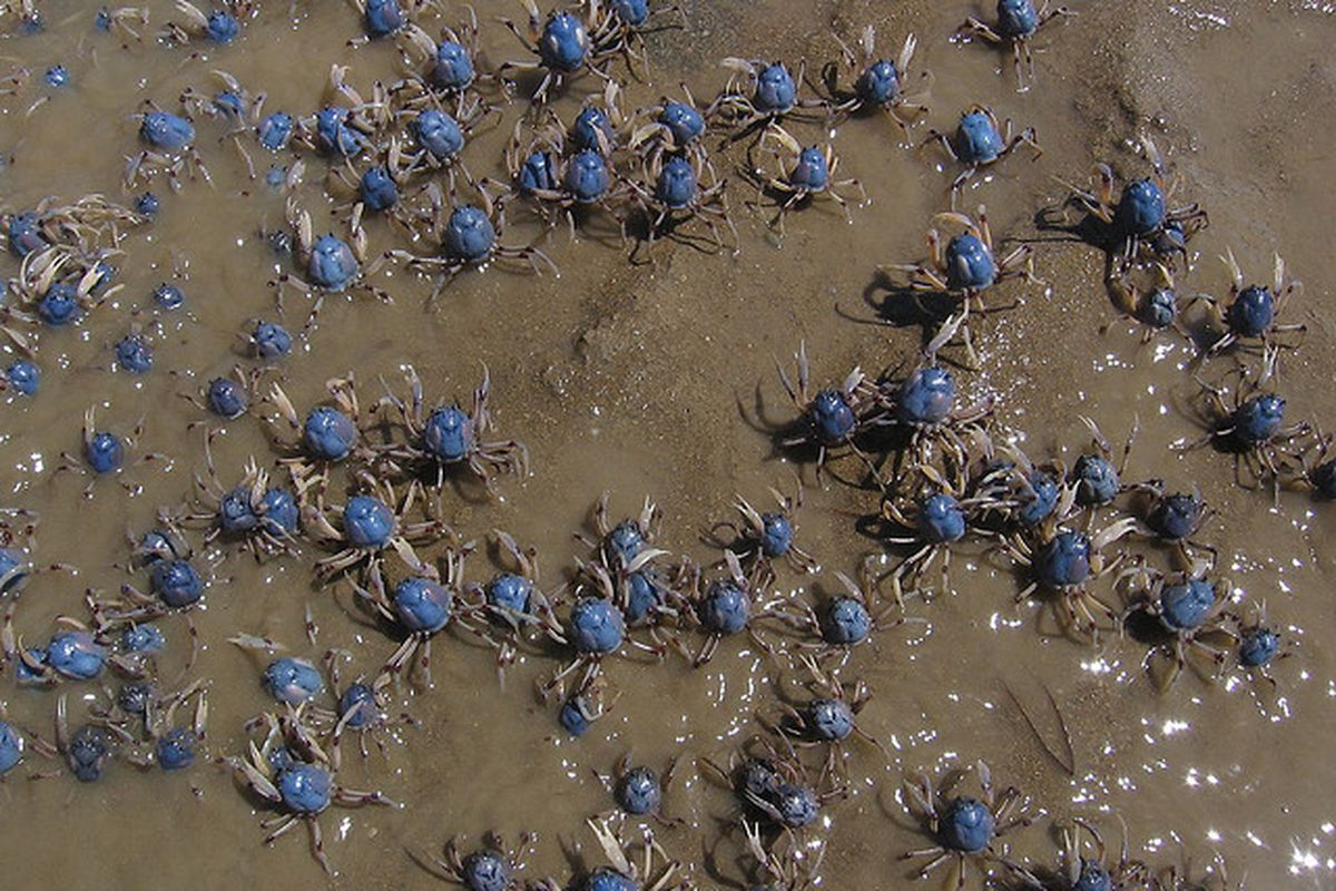 Soldier Crabs from Flickr