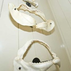 Authentic shark jaws from Australia and Cabo San Lucas