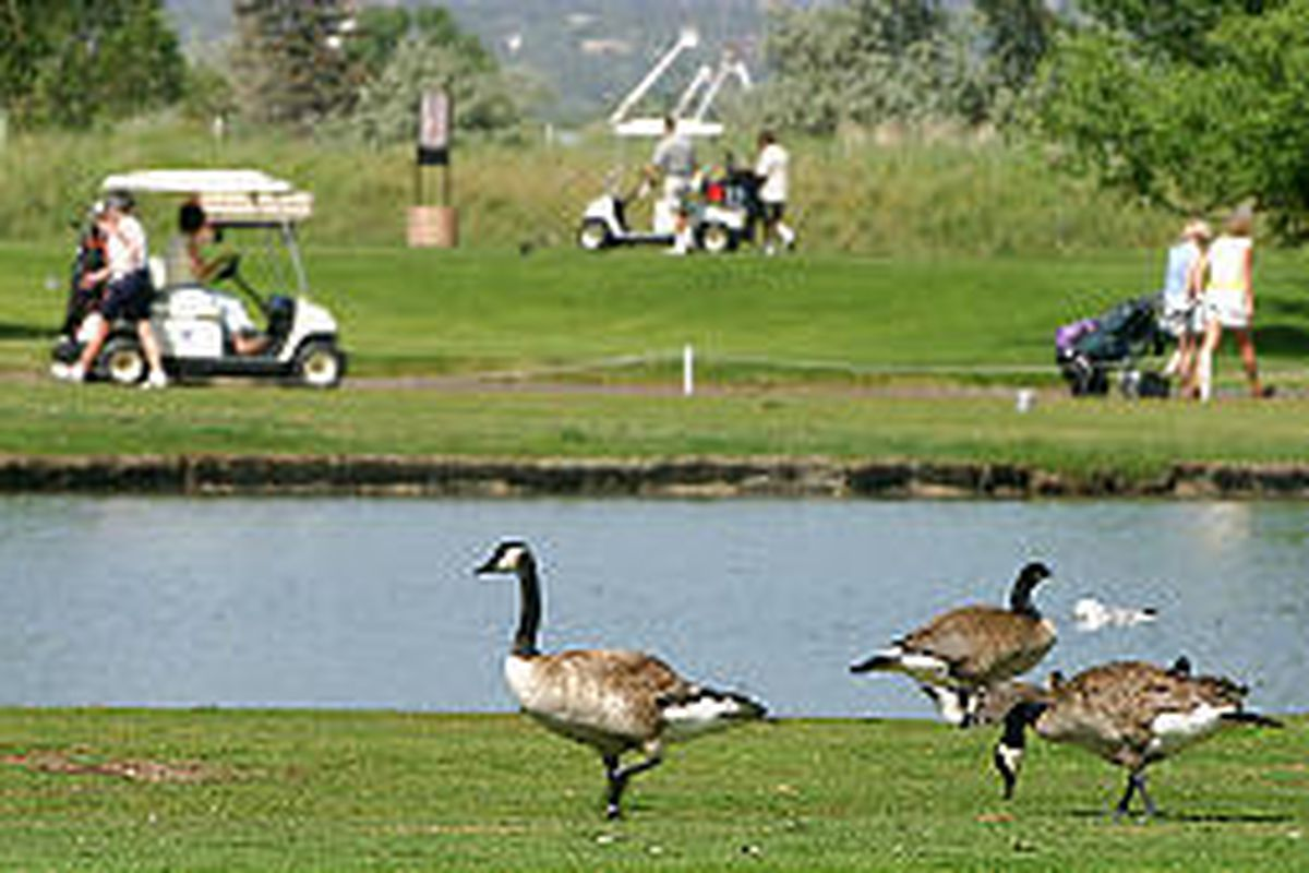 A few of the 500 or so Canadian Geese that call Glendale Golf Course home go about their business.