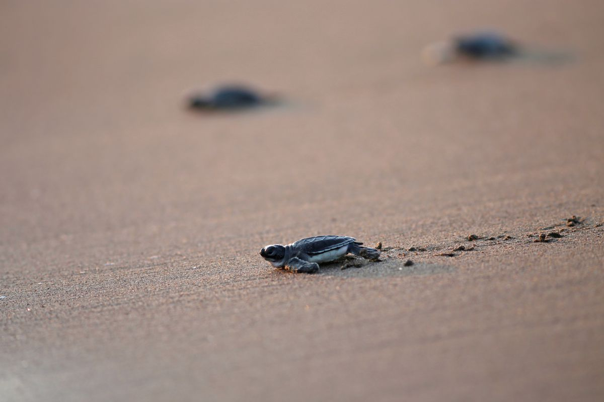 Baby sea turtles hatched in Adana reach the sea